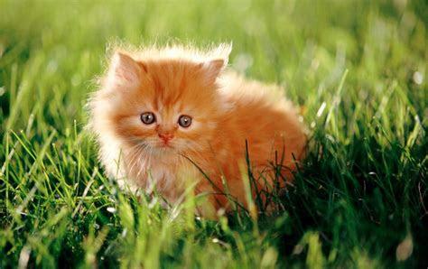 koleksi gambar kucing persia imut  lucu koleksi