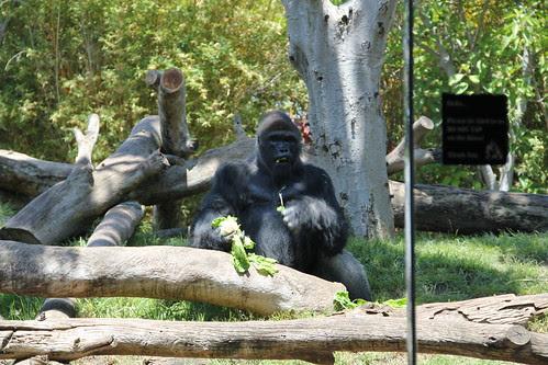 Gorilla eating lettuce