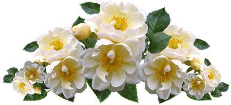 mawar putih bunga foto gratis  pixabay