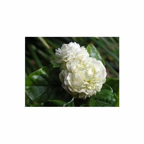Freeze Dried Flowers Freeze Dried Mogra Flower Manufacturer From Surat