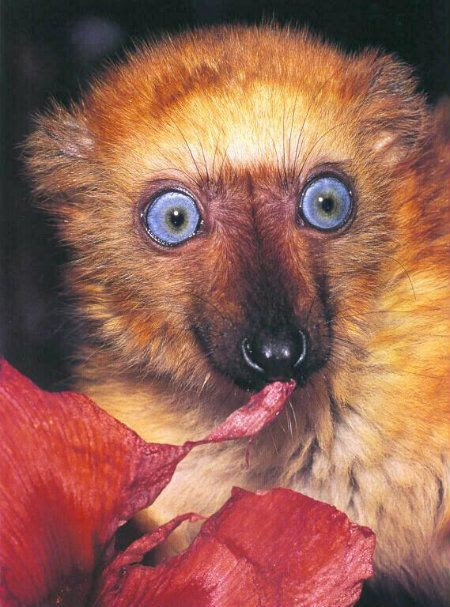 lemurblue1