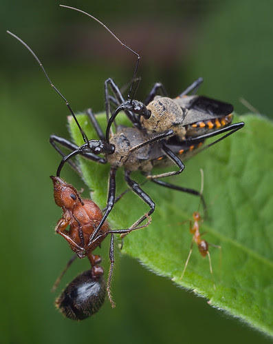 Food, sex and TV. Mating assassin bugs with ant prey Myrmicaria sp queent ant.......:D IMG_4897 merged copy