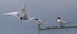 Arctic Terns (Sterna paradisaea), Lerwick Tern...
