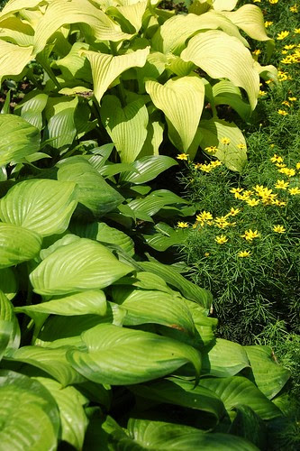 Hosta and Coreopsis