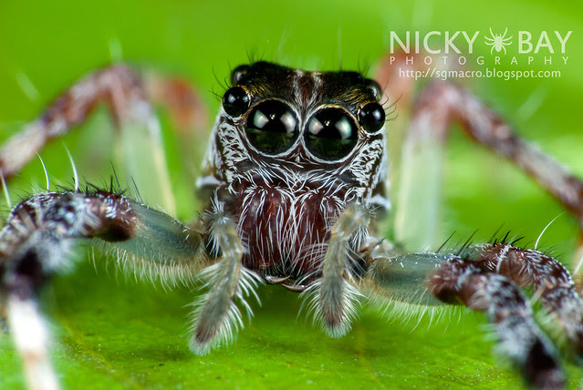 Jumping Spider (Salticidae) - i02901