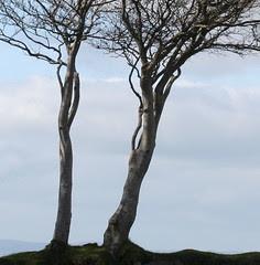 Two Trees - Dartmoor
