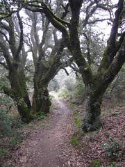 gnarly oaks