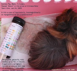 Guinea Pig Abyssinian Male 1halfyears, 900grams. Blood in urine? Toa Payoh Vets