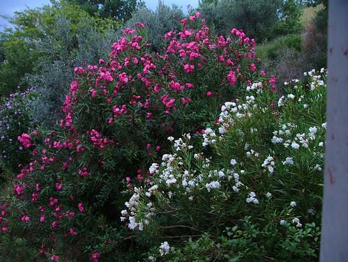 some oleanders