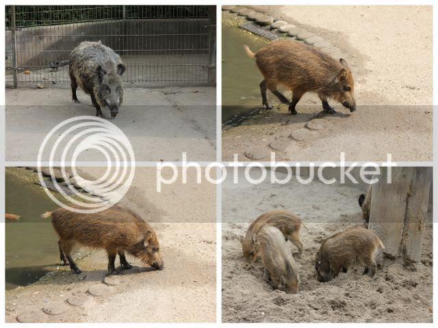 Wildschweinchen