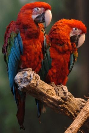 KCZoo Macaws