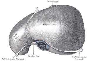 Liver superior