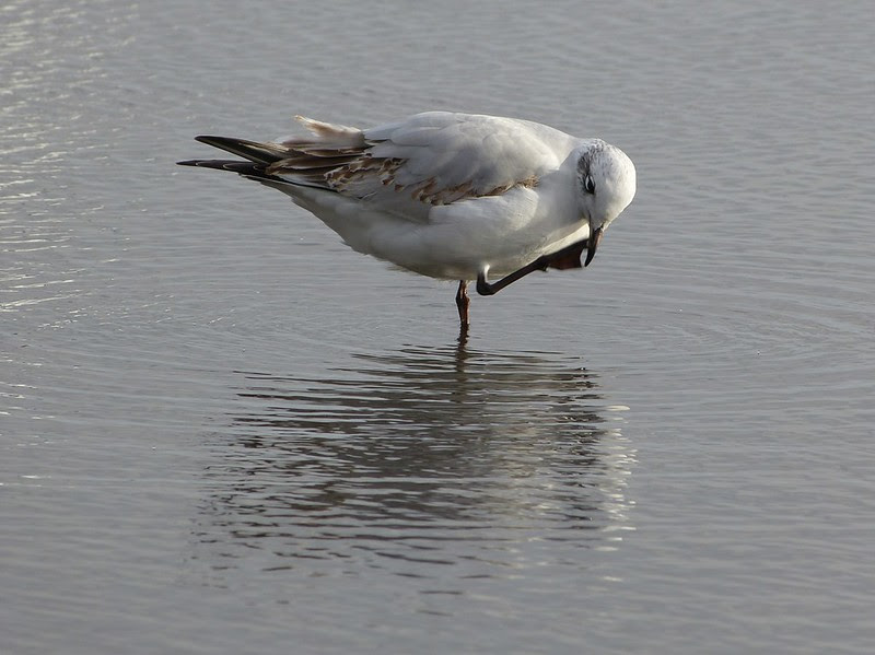 29108 - Mediterranean Gull, Bracelet Bay