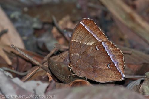 IMG_6313 copy Dark Jungle Glory, Thaumantis noureddin noureddin
