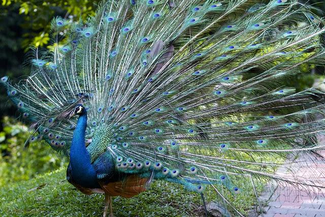 Burung  Merak  Flickr Photo Sharing