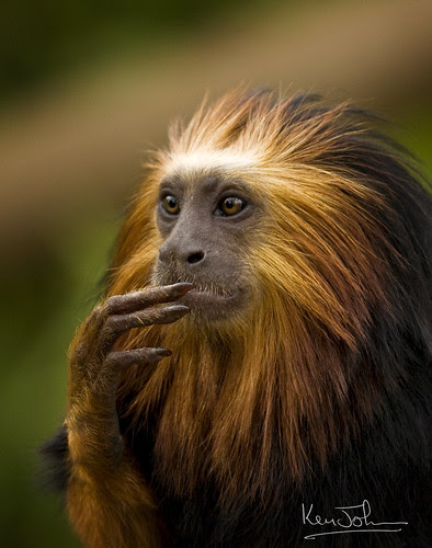 Golden-headed lion tamarin  (Leontopithecus chrysomelas) por Ken M Johnson