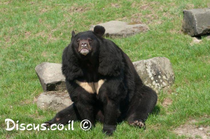 דוב שחור אסייתי