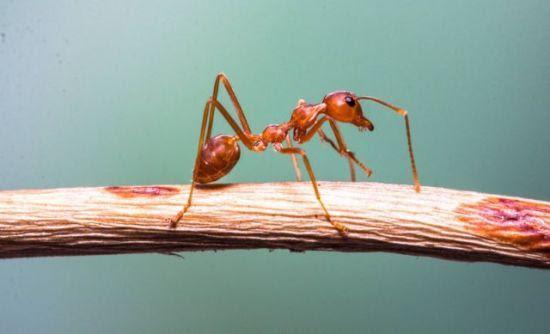 Perierga.gr - «Τρελά μυρμήγκια» καταστρέφουν ηλεκτρικές συσκευές