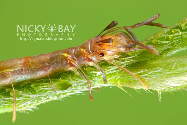 Owlet Moth larva (Homodes sp.) - DSC_2614