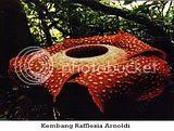 Hah, Malaysia Mengklaim Bunga Raflesia Arnoldi?