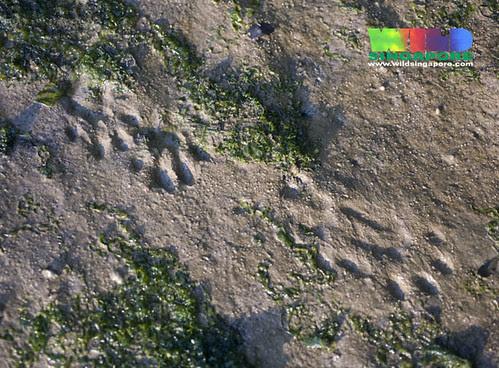 Smooth otter tracks (Lutrogale perspicillata)