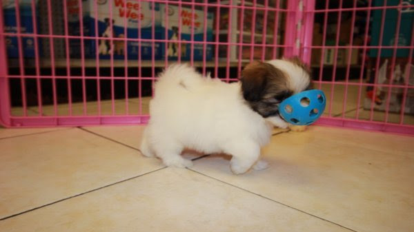 Adorable Little Havanese Puppies For Sale, Georgia Local ...