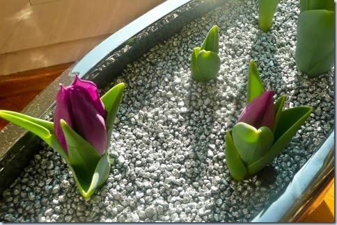 2009-03-13 mini tulipani
