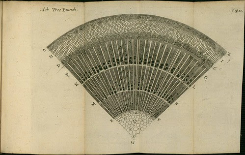 Ash Tree Branch - The comparative anatomy of trunks - Nehemiah Grew 1675