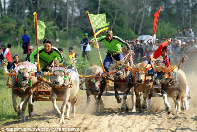 Balinese men race the decorated buffaloes during the Makepung race, and can reach speeds of up to 30mph