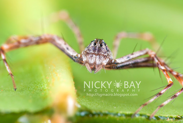 Lynx Spider (Oxyopidae) - DSC_4002