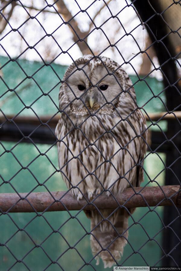 Неясыть в зоопарке (Саранск)