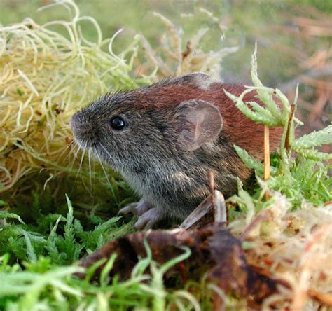 Southern Red Backed Vole