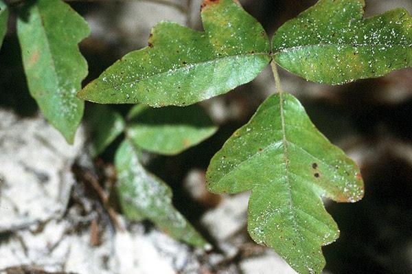 poison oak ivy sumac. Poison oak