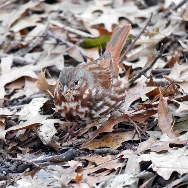 Ed Gaillard: birds &emdash; Fox Sparrow