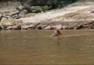 Livro mostra fotos de orangotango nadando