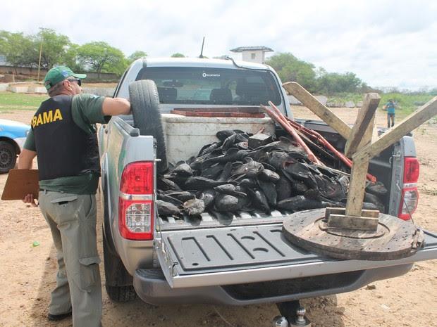 Mais de 80 quilos de cari mortos e 100 exemplares vivos foram apreendidos pelo Ibama (Foto: Amanda Franco/G1)
