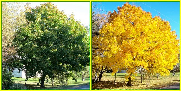 The year without fall colour