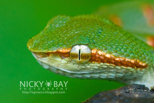 Wagler's Pit Viper (Tropidolaemus wagleri) - DSC_8850