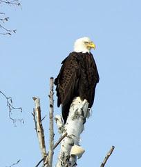 Bald Eagle detail