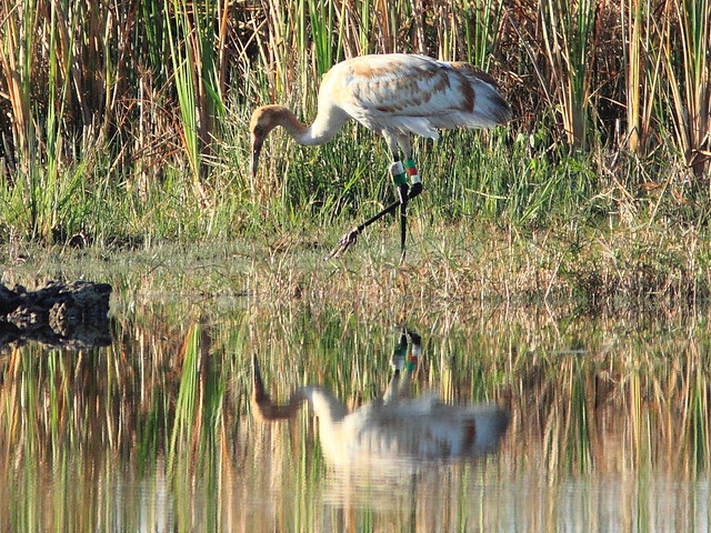 Whooping Crane 12-15 at 0839AM 20130207