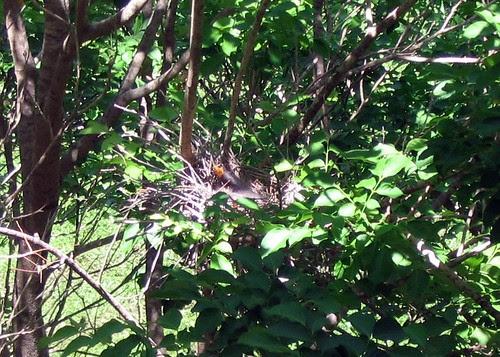 Bowerbird chick