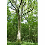 475 centimètres de diamètre, 35 mètres de hauteur, ses mensurations parlent d'elles-mêmes