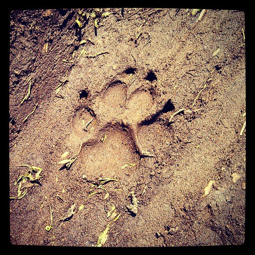 Perfection in the mud by Zeus! #dogstagram #love #bigdog #paw #pawprint