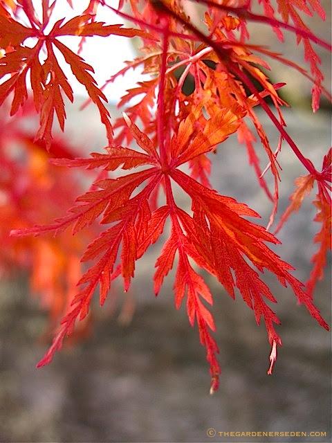 japanese maple leaf burn. Acer palmatum x dissectum