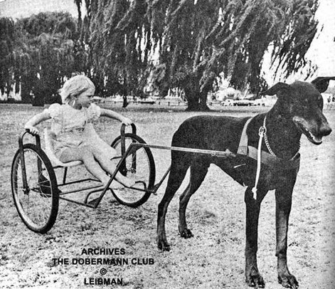 Doberman harness racing