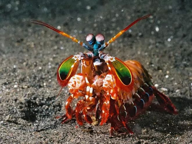 7. Mantis shrimp
