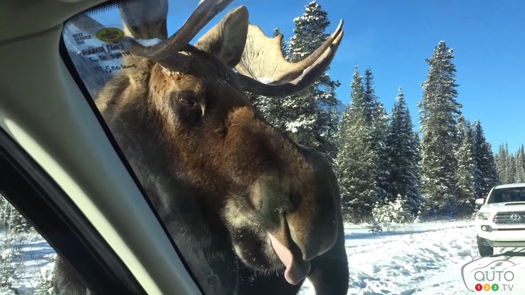 Don't let moose lick your car this winter  Car News  Auto123