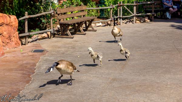 Disneyland Resort, Disneyland, Frontierland, Geese