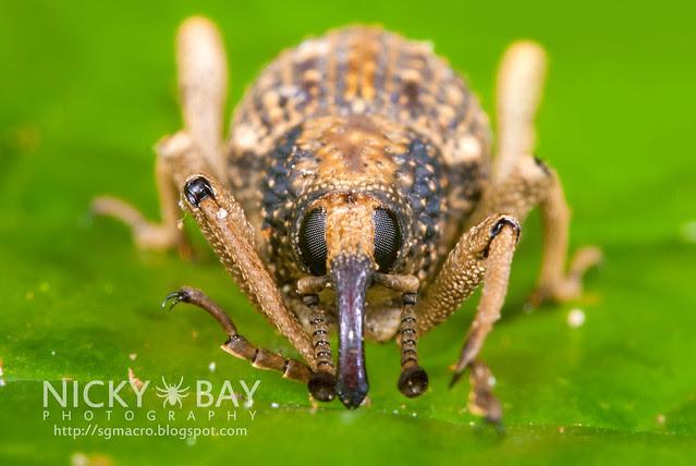 Weevil (Curculionidae) - DSC_0675