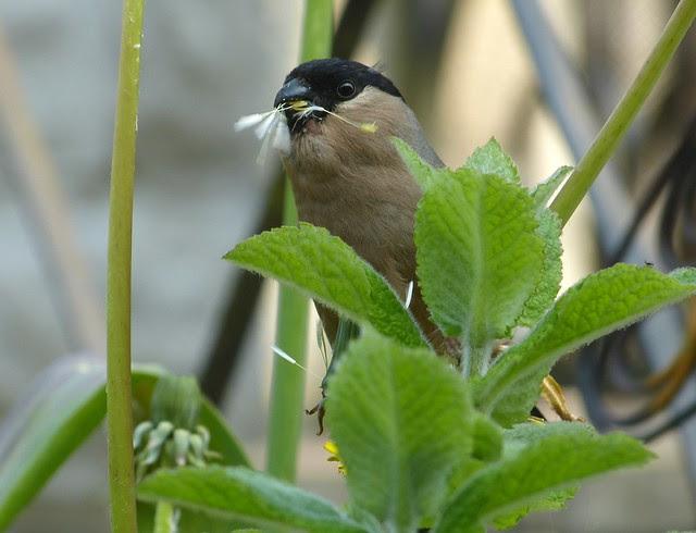 27335 - Bullfinch, Garden